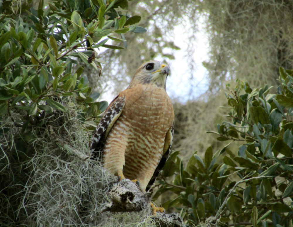 Red Shoulder Hawk in a Tree -- Jodie Haven